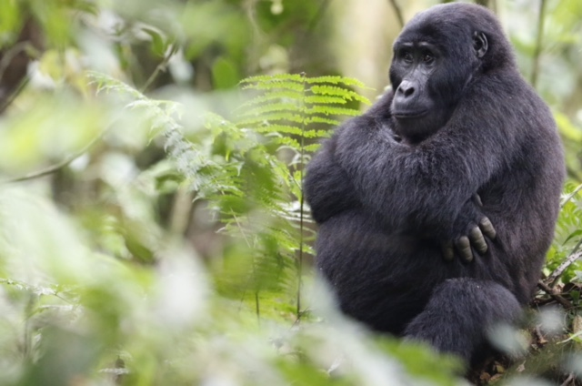 Gorillas in the mist… Gorilla Trekking in Rwanda and Uganda.